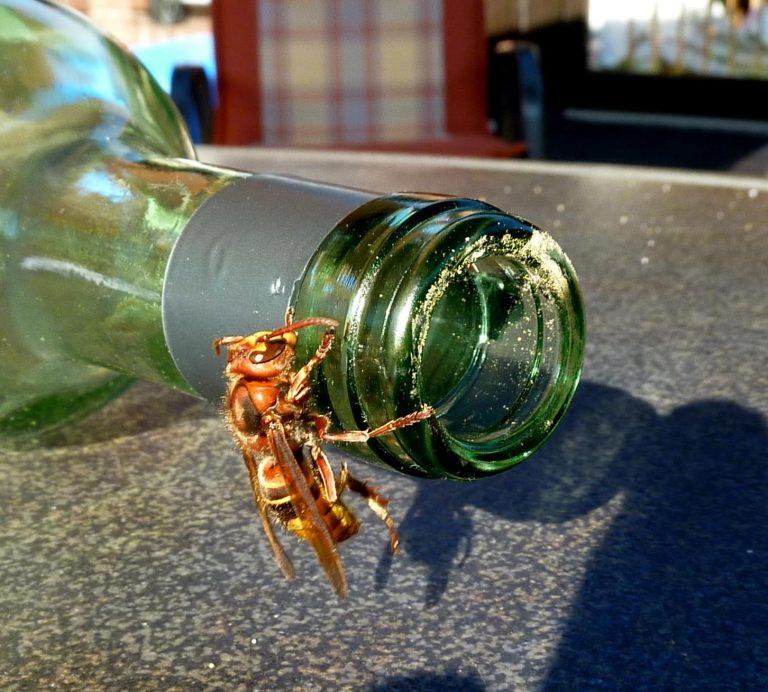 Hornisse an Weinflasche